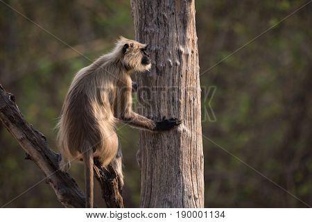 Hanuman Langur Sitting In Tree In Profile