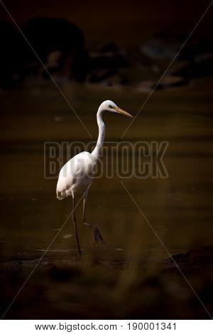 Intermediate Egret Wades Through Lake In Shadows