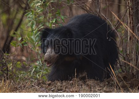 Sloth Bear Looking Out From Under Bushes
