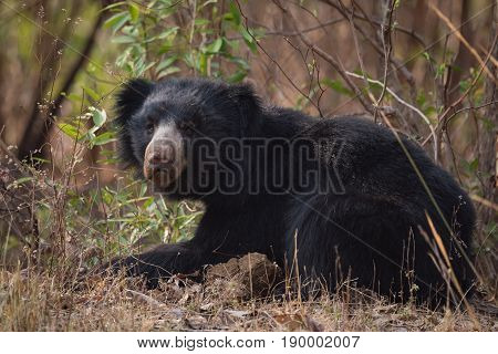 Sloth Bear Lying In Bushes Lifts Head