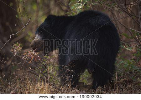 Sloth Bear Turning Head Under Shady Bushes