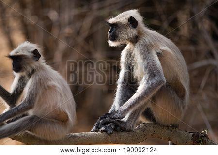 Two Hanuman Langurs Sitting On Sunny Branch