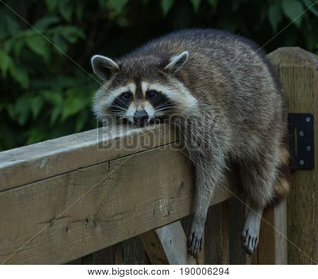Raccoon resting on a wooden deck railing on a warm day, close crop
