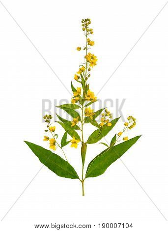 Pressed and dried flower loosestrife (lysimachia vulgaris) isolated on white background. For use in scrapbooking floristry (oshibana) or herbarium.