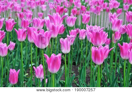 Flowering of pink tulips in the park.Tulip is a genus of perennial herbaceous bulbous plants of the family Liliaceae.