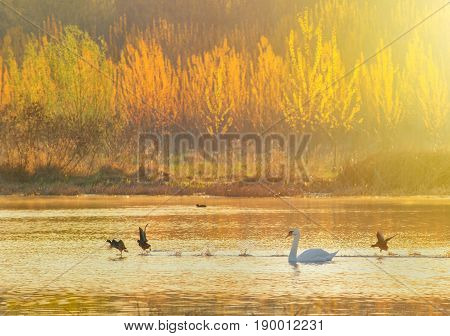 Swan on the pond at sunrise in summer