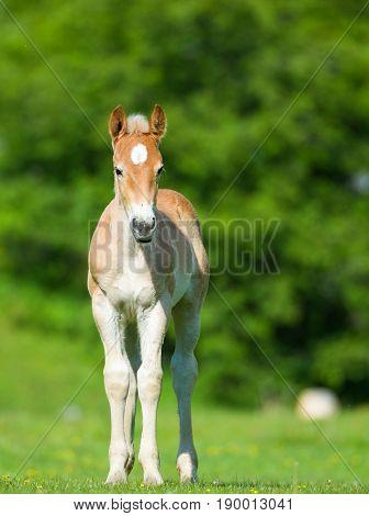 little foal in the meadow in summer
