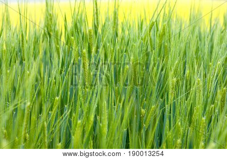 Fresh green wheat grass with drops in summer