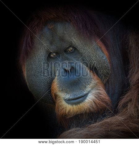 Portrait Of Very Old Asian Orangutan On Black Background
