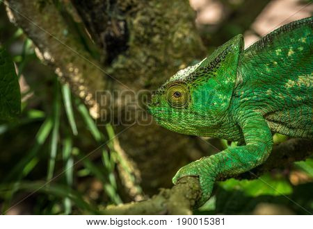 Highly detailed image of Green chameleon of Madagascar