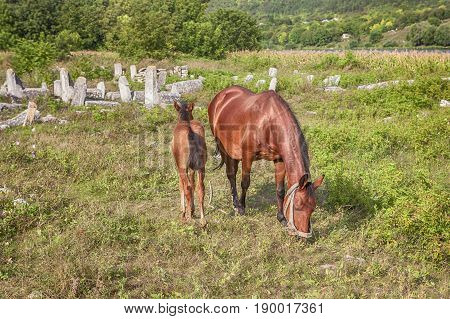 red mare and young colt grazing on the meadow