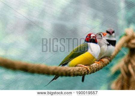 Beautiful Birds Guldova Amadina (erythrura Gouldiae) Sitting On A Branch