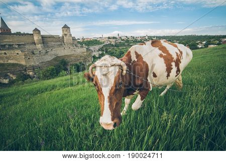 cow on the grass feild with old castle on bcakground