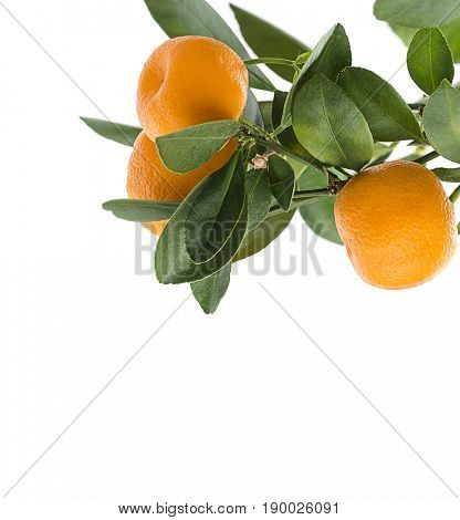 Bough of kumquat hybrid tangerine with space for your text.