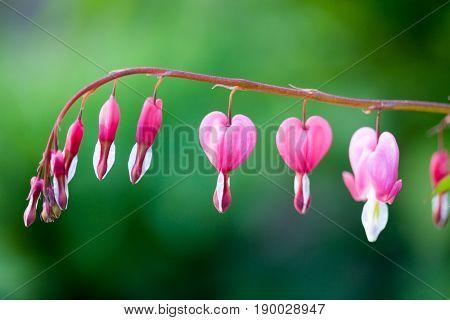 Pink bleeding heart flower hanging