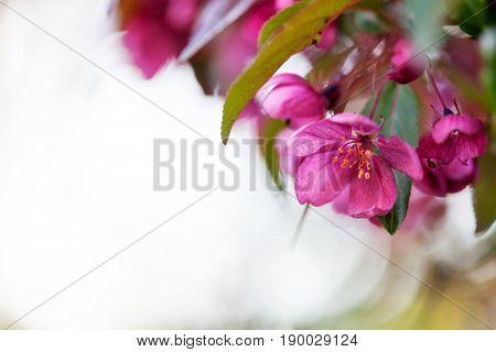 Malus purpurea tree blooming in spring