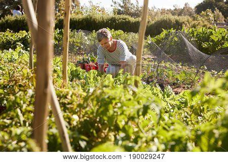 Mature Woman Harvesting Beetroot On Community Allotment
