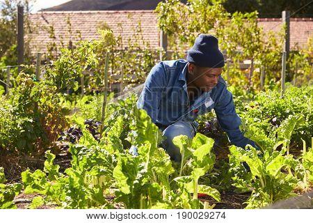 Gardener Working In Community Allotment