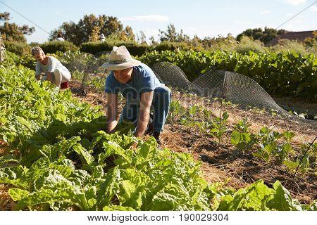 Mature Couple Harvesting Beetroot On Community Allotment