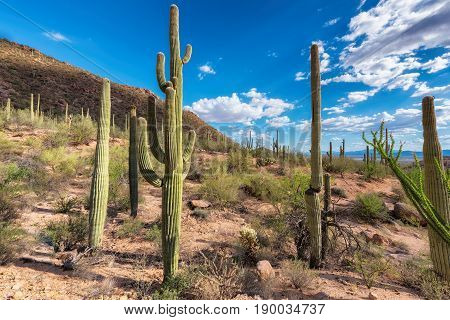 Saguaro cactus in Sonoran desert, Phoenix, Arizona