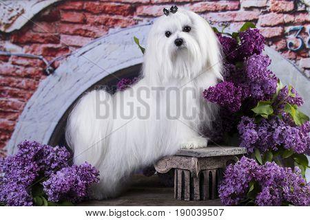maltese in long hair