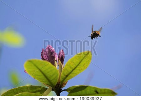 Flying bumblebee under blue sky in summer
