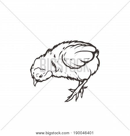 Chick. Poultry. Farming. Livestock raising. Hand drawn. Vector illustration.
