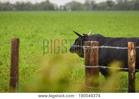 Bull Of Camargue In Field