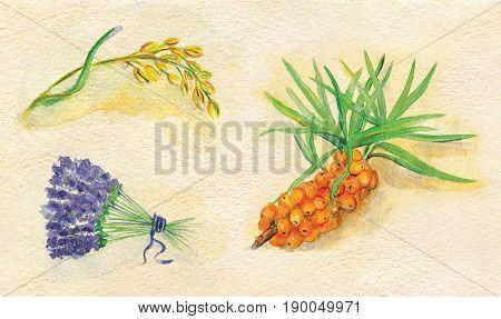 Watercolor summer illustration of oats, lavender, buckthorn