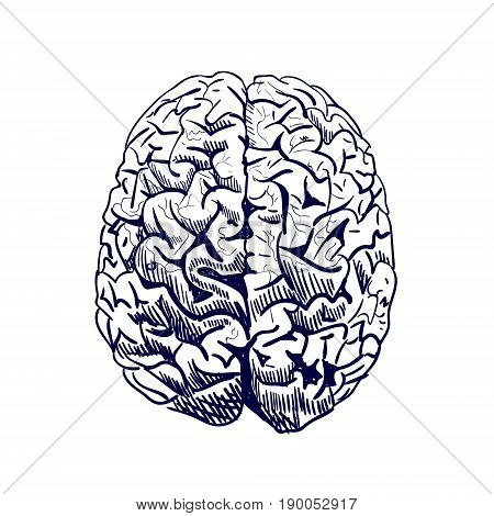 Brain sketch. VECTOR colored hand drawn human brain. Front view. Line work, blue sketch on white background