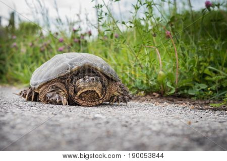 Snapping turtle on a road near a ditch line.