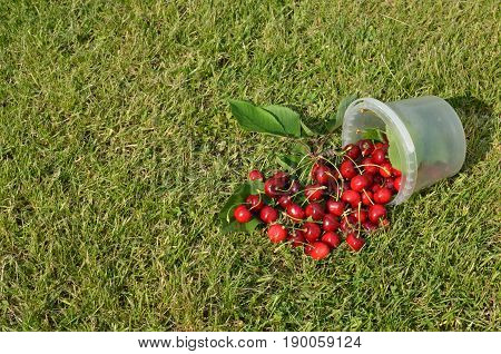 Plastic pail of spilled just picked cherries on a garden lawn