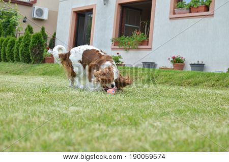 Charming dog - Cavalier King Charles Spaniel - playing with her toy on a backyard lawn