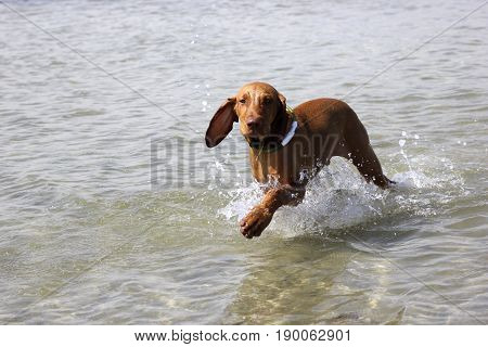 Training on the water of a hunting dog magyar vizsla