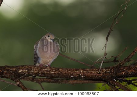 Mourning Dove on a branch with head tucked in