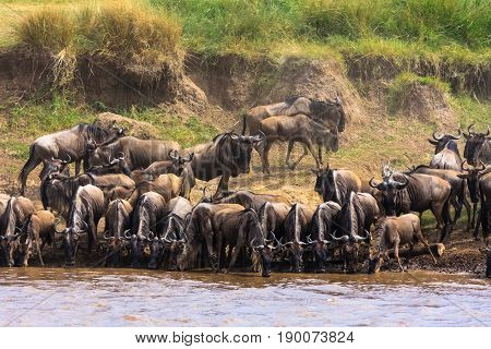Herds of herbivores on the shores of the Mara River. Kenya, Africa