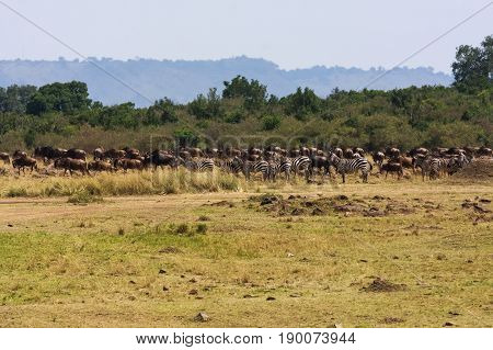 Great migration. Herds on the Mara River. Kenya, Africa