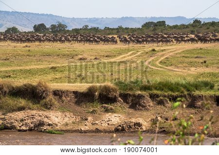 Great migration. Herds on the shores of the Mara River. Kenya, Africa