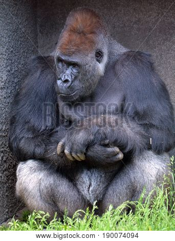 Gorillas are the largest extant species of primates. They are ground-dwelling, predominantly herbivorous apes that inhabit the forests of central Africa.