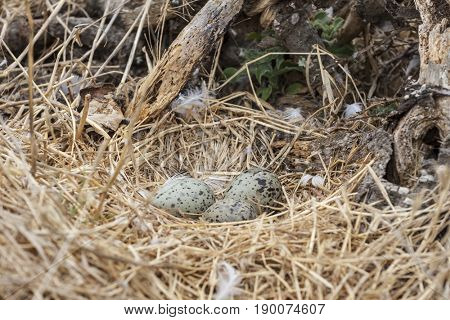 Seagull eggs in nest on Anacapa Island in Channel Islands National Park, California.