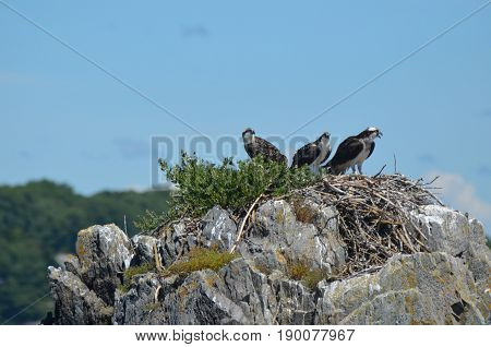 Large rock with an osprey nest and three ospreys in it.