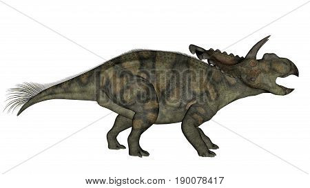 Albertaceratops dinosaur walking and roaring isolated in white background - 3D render
