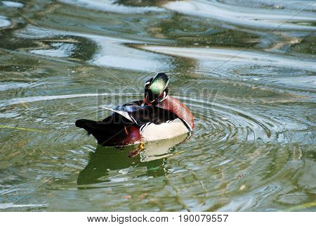 Male wood duck preening and swimming in a pond.