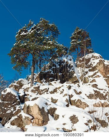 Pine trees growing on a rock covered with snow against blue sky; Norway.