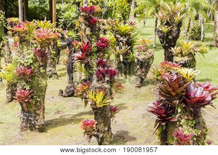 Beautiful bromeliaceae in tropical garden in Martinique