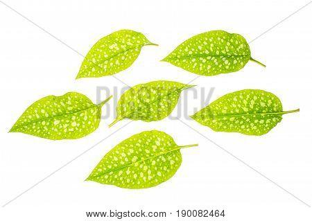 Green leaves with white specks. Studio Photo