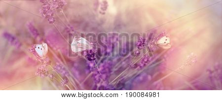 Selective focus on butterfly (butterflies) on lavender lit by sunlight, sun rays