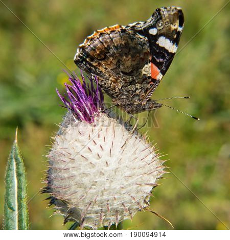 Colorful butterfly on the flower small tortoiseshell vanessa cardui