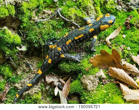 Wild salamandra in the nature with green background