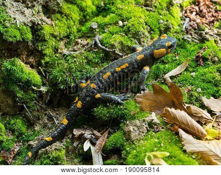 Wild salamandra in the nature, salamander detail